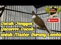 Cucak Jenggot Gacoorrr Dorr Cocok Untuk Masteran  Mp3 - Mp4 Download