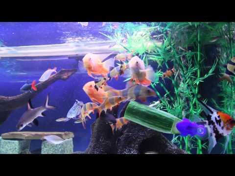 Monster Clown Loach (Chuck) & Friends Eating Cucumber & Hand Feeding