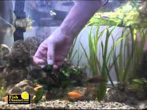 How to clean aquarium algae youtube for Cleaning algae from fish tank