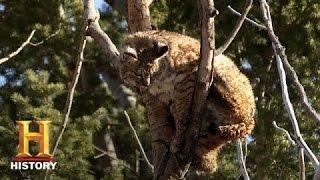 mountain men rich gets rid of a bobcat season 4 episode 11   history