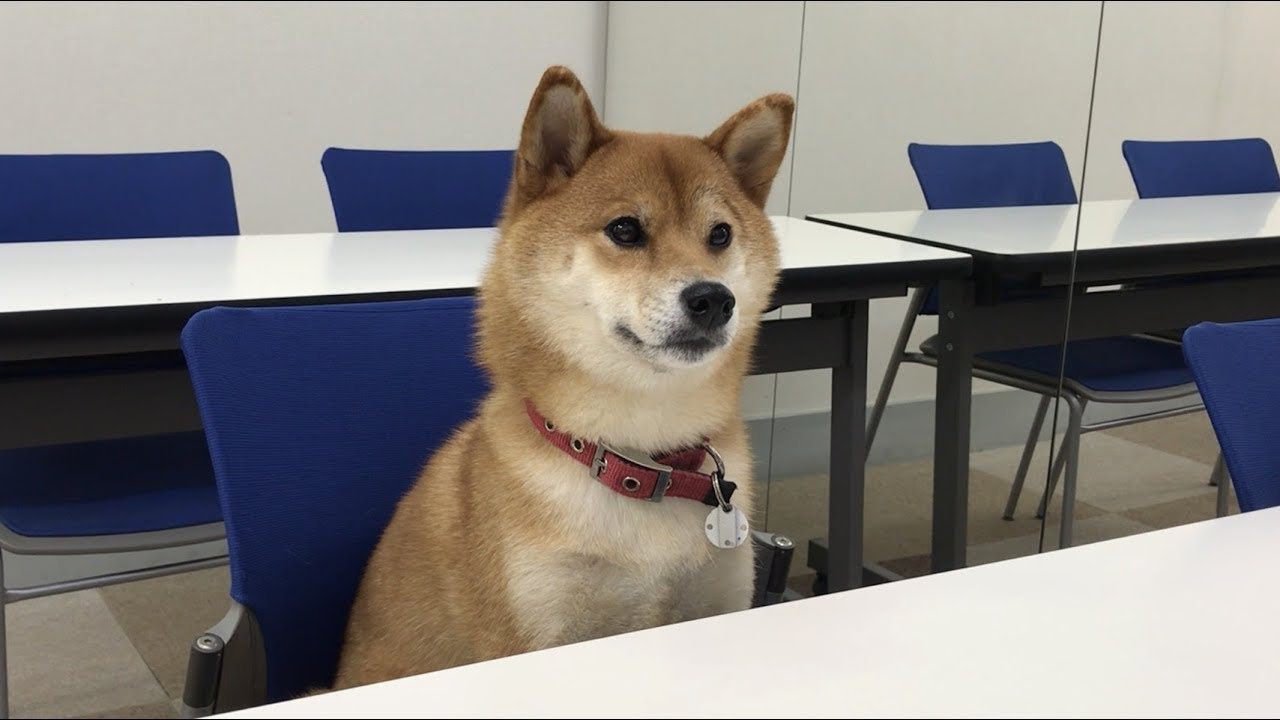 柴犬 ゆき ちゃん