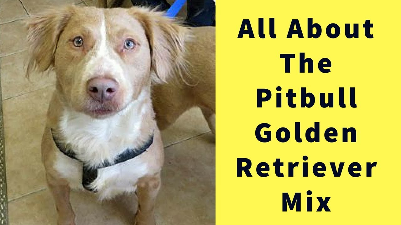 All About The Pitbull Golden Retriever Mix Youtube