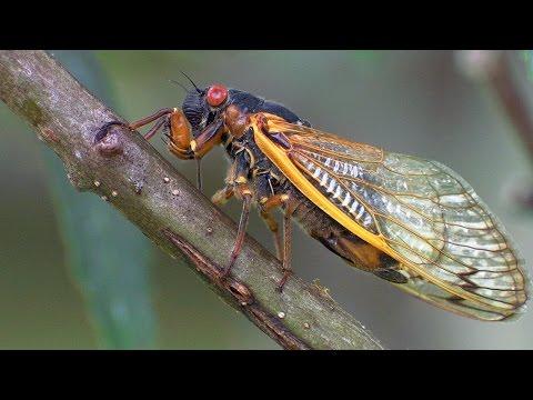 17 Year Periodical Cicadas - Planet Earth - BBC Earth