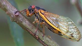 17 Year Periodical Cicadas | Planet Earth | Bbc Earth