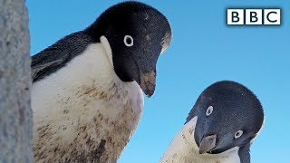 Bird steals Egg cam and films penguin colony - Spy in the Wild: Episode 4 Preview - BBC One