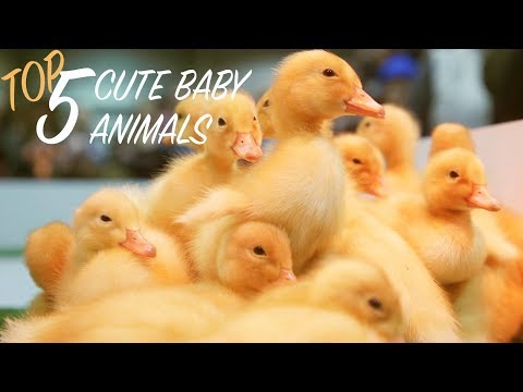 Top 5 Cute Baby Animals at 2018 PA Farm Show