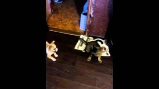 Пёс отбирает еду у кошки