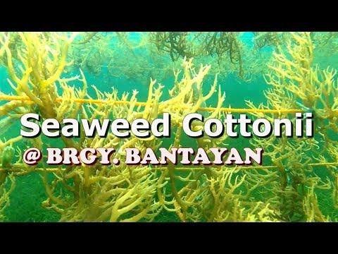 SEAWEEDS BRGY  BANTAYAN