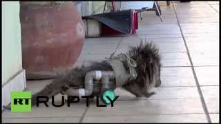 Brazil: Paraplegic Porcupine On A Roll With Diy Wheelchair