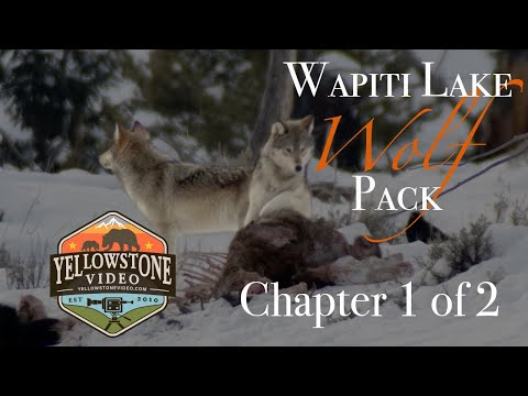 Yellowstone's Wolves in Winter - Spend a Day with the Wapiti Pack, Chapter 1 of 2 - December 2019