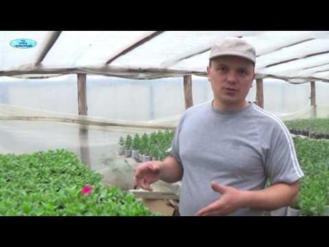 Вопрос: Чем подкормить петунию для роста?
