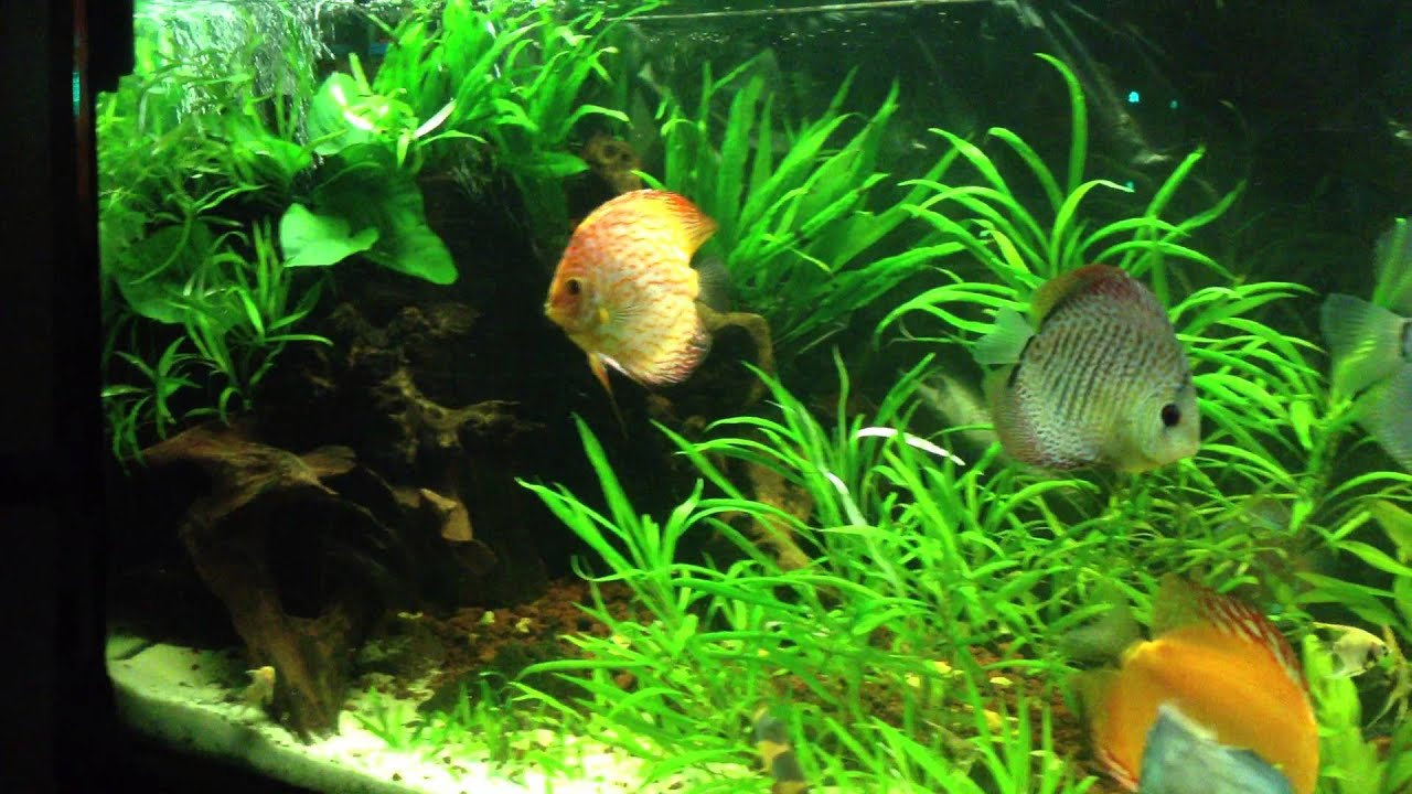 Peces disco acuario de 500l plantado youtube for Red para peces de acuario