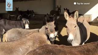 Chorus of donkeys