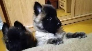 """The Sweetest Puppies"" #3 Owczarek belgijski tervueren - testy szczeniąt cz. 1"
