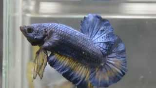 Paitune Betta DSC 185 GIANT BLUE MUSTARD DRAGON OHMPK MALE June 13 th