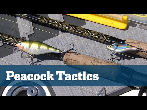 How To Catch Peacock Bass Tips Tactics Freshwater Canals - Florida Sport Fishing TV Pro's Tip