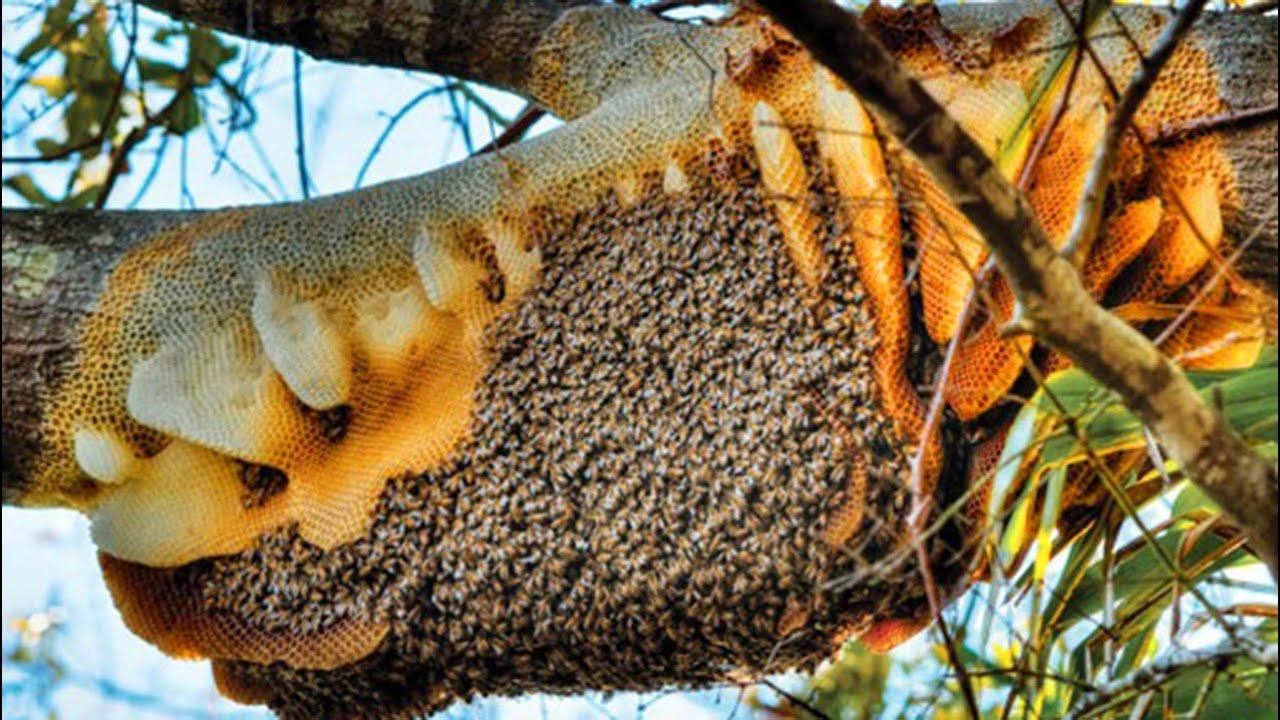 Kỳ lạ đàn ong vào nhà làm tổ suốt 12 năm, làm mật để gia chủ bán mỗi ngày