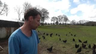 Histoire d'autrefois oeufs de poule Marans