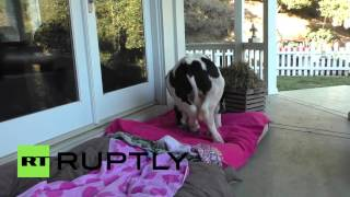 USA: Meet Goliath, the baby cow that thinks it's a DOG
