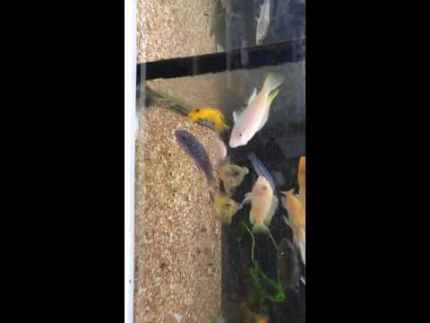 African Cichlids in deplorable conditions at Omaha