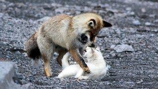 Eine unglaubliche Freundschaft zwischen Fuchs und Katze