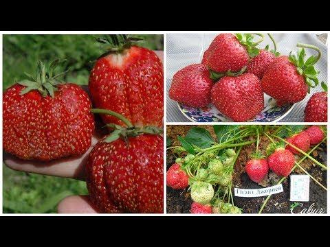 Земляника семенами: Гигант Джорнея гигантские ягоды и выдающаяся урожайность!