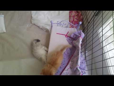 Lambkin kittens playing(1)