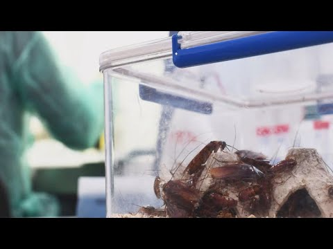 Cockroach milk may be a new food trend
