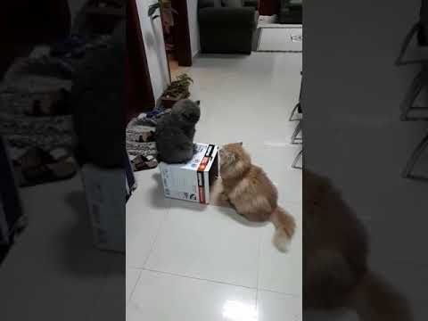 Cats fighting over a BOX