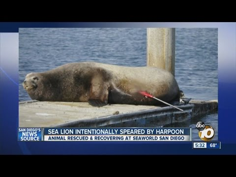 Sea lion intentionally speared by harpoon