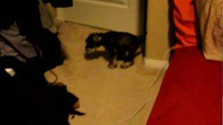Puppy Miniature Schnauzer Pooping