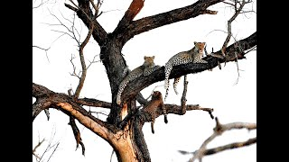 Leopards - hanging like fruit in the tree! SAFARI I HIGHLIGHTS #51