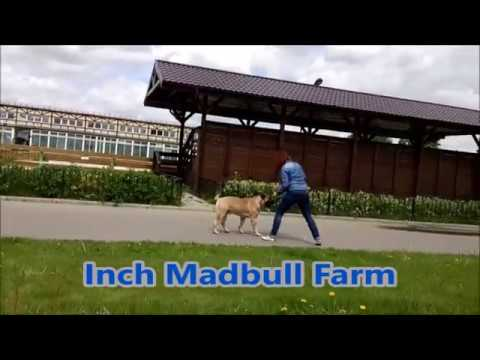 Bullmastiff Inch Madbull Farm