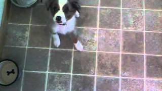 9 Week Old Australian Shepherd Puppy Training