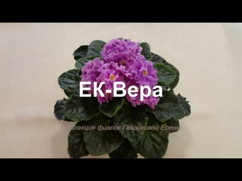 Фиалка ЕК-Вера