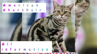 American Shorthair. Pros and Cons, Price, How to choose, Facts, Care, History