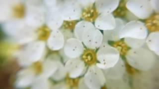 СПИРЕЯ (Белая Невеста, Таволга) - макросъёмка цветы