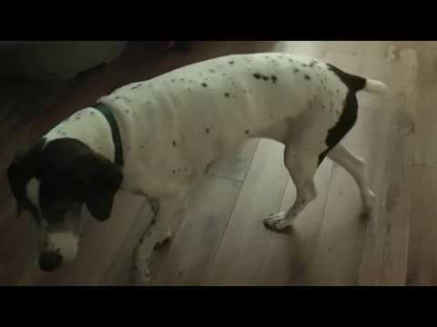 Old Dog Having Continuous Focal Seizures