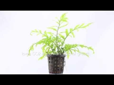 Bolbitus heudelotii - an undemanding aquatic plant for wood or rock
