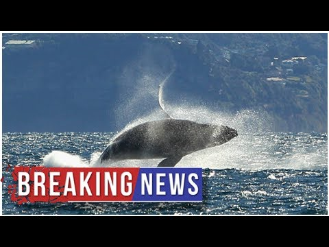 Native American, conservation groups sue Trump for failing to protect humpback whale habitat