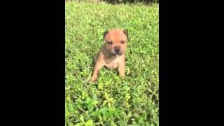 Akc Staffordshire Bull Terrier Puppies For Sale
