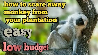 How to scare away monkeys from your plantation ,easy,home made, low budget