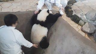 【やったね♪】子パンダ結浜🐼初めてひとりで上がれたよ♪【プチお手伝いありw】Giant Panda -Yuihin-☆Yuihin was able to climb by herself. thumbnail