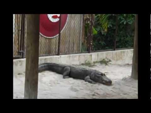 Everglades on Air Boat and Alligator feeding