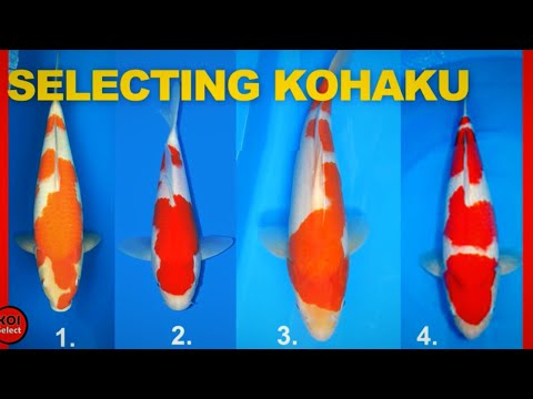 Selecting Show Quality Koi- Kohaku