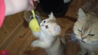 2017 февраль. ПРОДАЖА! Золотые британские котята!