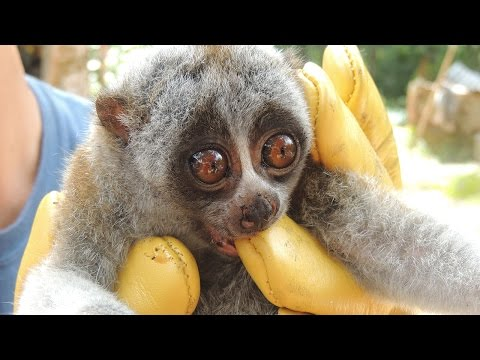 Slow Loris Conservation in Vietnam