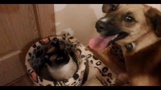 Кот рычит как ЛЕВ. Собака дерется с пантерой. Атака из укрытия. Кот против собаки. Сиамская пантера