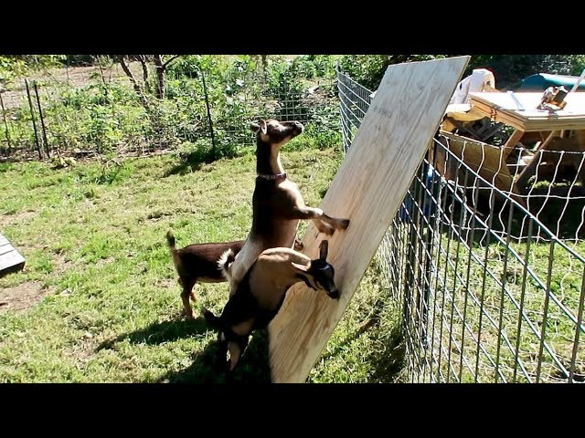 This was Not a Good IDEA! (Plywood and Goats)