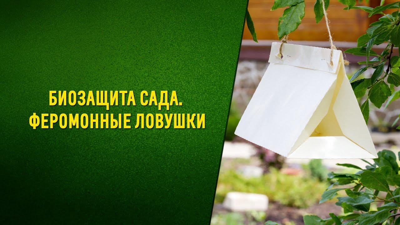 Защита урожая сливы от плодожорки. Биозащита сада  Феромонные ловушки